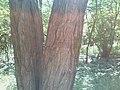 Ящерица (приближенное фото) на о.Хортица.jpg
