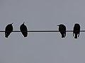 رفتار عجیب سارها بر روی تیرهای برق در اطراف شهر قم، ابتدای فصل زمستان - عکاس. مصطفی معراجی 21.jpg