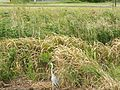 アオサギ - panoramio.jpg