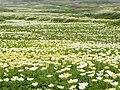チングルマの群生(Geum pentapetalum clumps) - panoramio.jpg