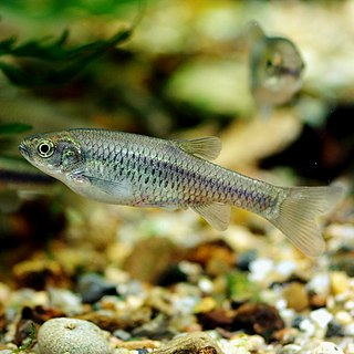 <i>Aphyocypris</i> genus of fishes