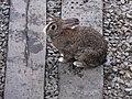 兔子 Rabbit - panoramio (1).jpg