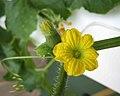 哈密瓜 Cucumis melo v saccharinus -香港北區花鳥蟲魚展 North District Flower Show, Hong Kong- (15491012263).jpg