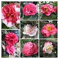山茶花 Camellia japonica cultivars 1 -香港大埔海濱公園 Taipo Waterfront Park, Hong Kong- (9255246854).jpg