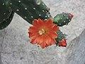 情人團扇 Opuntia quitensis -倫敦植物園 Kew Gardens, London- (9207614474).jpg