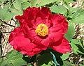 日本牡丹-新日月錦 Paeonia suffruticosa Shin Jitsugetsu-nishiki -日本大阪長居植物園 Osaka Nagai Botanical Garden, Japan- (12537118035).jpg