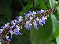 洋紫蘇 Coleus scutellarioides -香港西貢獅子會自然教育中心 Saikung, Hong Kong- (9200932178).jpg