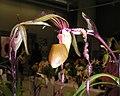 皇后兜蘭 Paphiopedilum sanderianum -香港沙田洋蘭展 Shatin Orchid Show, Hong Kong- (9252404271).jpg