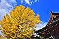石巻大島神社のイチョウ.jpg