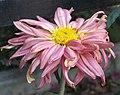 菊花-紫玉蓮 Chrysanthemum morifolium 'Purple Jade Lotus' -香港雲泉仙館 Ping Che, Hong Kong- (12049307105).jpg