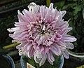 菊花-荷花型 Chrysanthemum morifolium Lotus-ribbon-series -香港雲泉仙館 Ping Che, Hong Kong- (9193425228).jpg