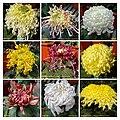 菊花 Chrysanthemum morifolium Cultivars 4 -上海嘉定匯龍潭公園 Jia Ding, Shanghai- (12064918353).jpg