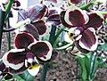 蝴蝶蘭 Phalaenopsis Sogo Lovely -荷蘭園藝展 Venlo Floriade, Holland- (9252383143).jpg