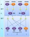 高茎豌豆与矮茎豌豆杂交试验的分析图解.PNG