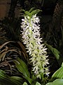 鳳梨百合 Eucomis comosa -泰國清邁花展 Royal Flora Ratchaphruek, Thailand- (9255261510).jpg