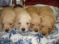 Catei Golden Retriever
