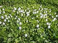 06319jfBarangay Flowers Pansinao Candaba Mount Arayat Pampanga Riverfvf 14.JPG