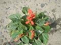 0998Ornamental plants in the Philippines 49.jpg