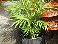 0998Ornamental plants in the Philippines 62.jpg