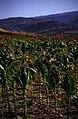 166Zypern Tabakplantage (14105546785).jpg