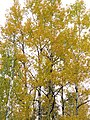 170927-FS-Superior-SAR- birches in sky (37307640736).jpg