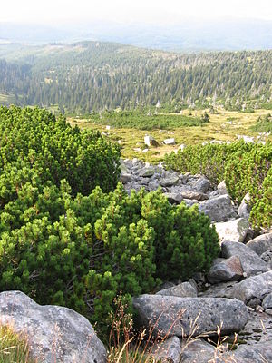 Polish–Czech Friendship Trail - Mountain pine - the most frequent tree on the trail