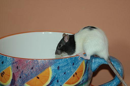 2008-01-24 (61) Rat, Farbratte