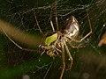 2012.10.20-16-Mannheim Vogelstang--Baldachinspinne-Linyphia Triangularis-Weibchen.jpg