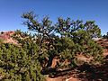 2013-09-23 15 51 19 Pinus edulis and Junperus osteosperma at Panorama Point in Capitol Reef National Park.JPG