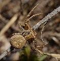 2014.03.09.-14-Kaefertaler Wald-Mannheim-Braune Krabbenspinne-Weibchen.jpg