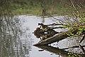20140403 035 Kessel Weerdbeemden Roodbuikschilpad (13609322105).jpg