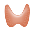 201405 thyroid gland.png