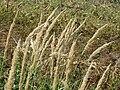 20150830Calamagrostis epigejos1.jpg