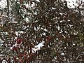 2016-02-15 09 22 25 Snow-covered reddish evergreen foliage on a bush along a walking path in the Franklin Glen section of Chantilly, Fairfax County, Virginia.jpg