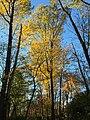 2017-11-10 15 51 51 Tulip Tree during late autumn within Hosepen Run Stream Valley Park in Oak Hill, Fairfax County, Virginia.jpg