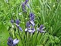 2018-04-24 Bluebells (Hyacinthoides non-scripta), St Margarets Thorpe Market.JPG