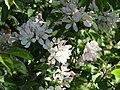 2018-05-05 Crab apple blossom (Malus sylvestris), Banville Lane, East Runton (1).JPG