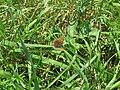 2018-05-13 (183) Female Lycaena tityrus (Sooty Copper) at Bichlhäusl in Frankenfels, Austria.jpg