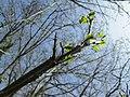 20180414Pterocarya fraxinifolia.jpg