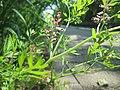 20190525Fumaria officinalis1.jpg