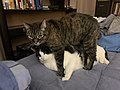 2020-01-18 22 04 41 A Tabby cat standing over-sitting on a Calico cat on a bed in the Franklin Farm section of Oak Hill, Fairfax County, Virginia.jpg