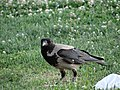 2021 08 21 Angel Photography Crows of Istanbul 1.jpg