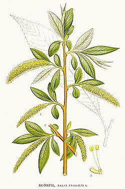 Ива ломкая — Википедия