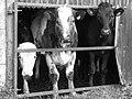 3 cows.jpg