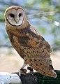 4592 barn owl munsel odfw (4438951080).jpg