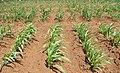 4 maize-weeding5.jpg