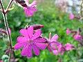 5717 - Schynige Platte - Flowers.JPG