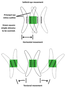 5 Salticid eye movement.png