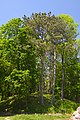 61-250-5001 Terebovla Pine DSC 9731.jpg