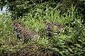 6528 Pantanal jaguars JF.jpg